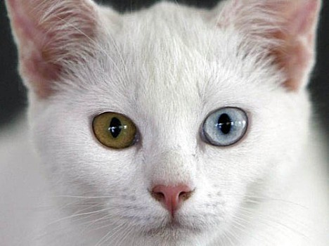 THAILAND DIAMOND EYE CAT