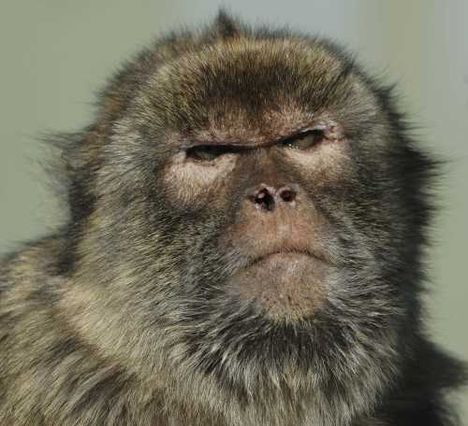0Barbary Ape Macaca sylvanus 20122006 Gibraltar a