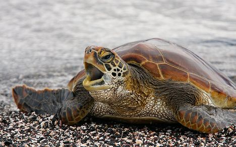 Pacifc-Green-Turtle-young-one-_MG_9931---Punta-Espinoza--Fernandina--Galapagos