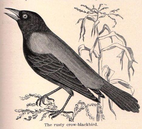 cuervos y mazorcas