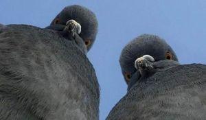 palomas-sospechosas