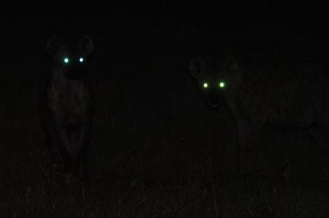 big-cat-safari-hyenas-on-a-night-drive