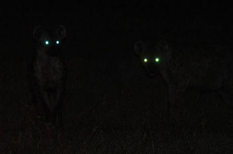 big-cat-safari-hyenas-on-a-night-drive