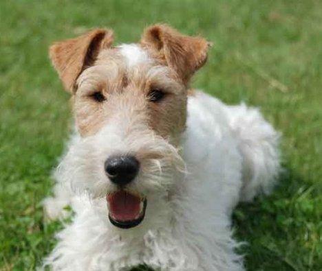 raza-perros-fox-terrier